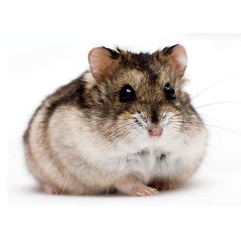 photo of a dwarf hamster