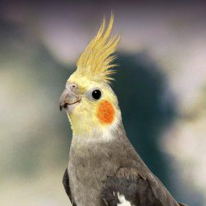 close up of a cockatiel
