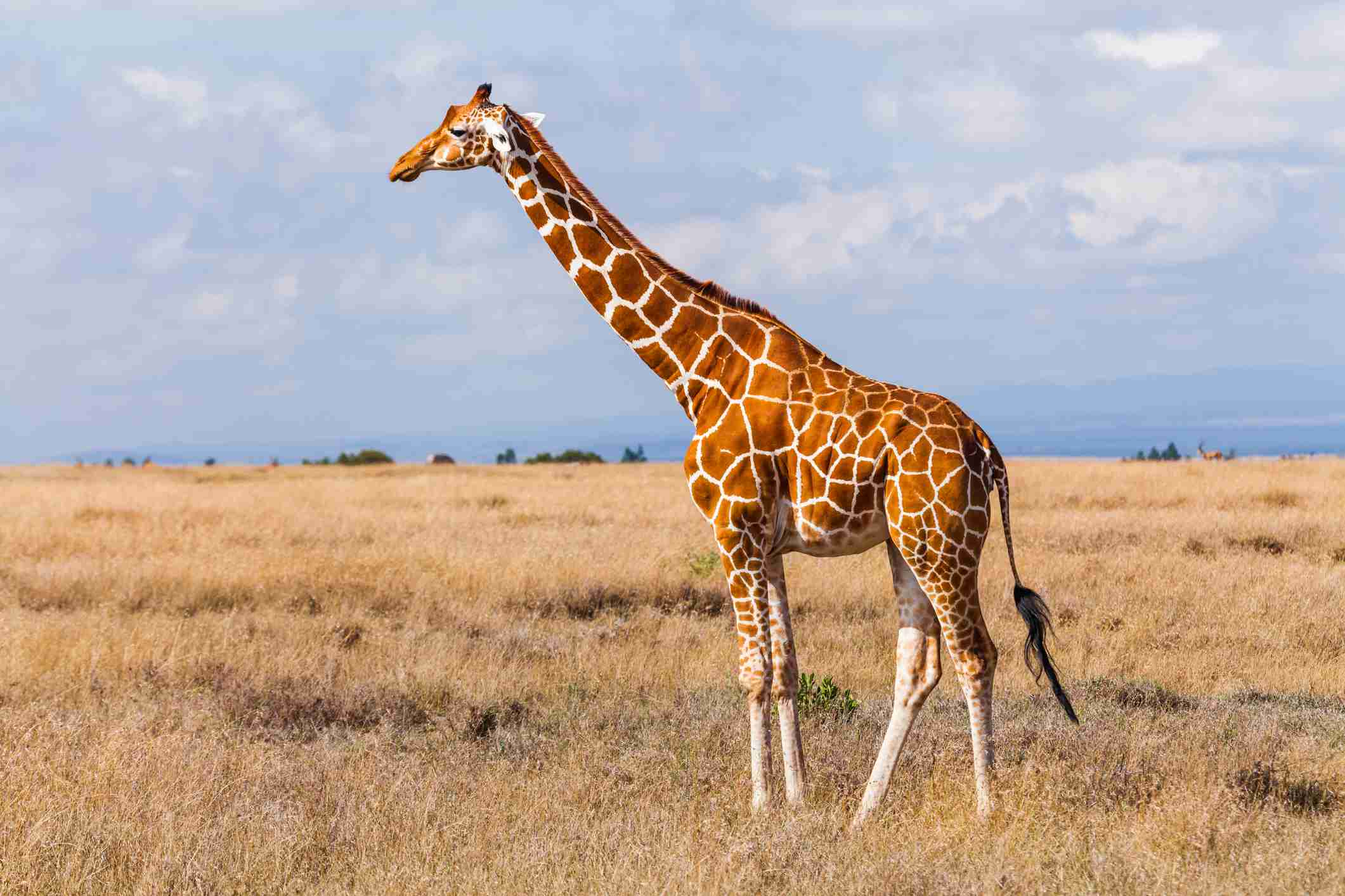 photo of giraffe in the savana