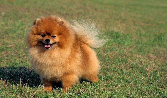 Pomeranian dog in the grass